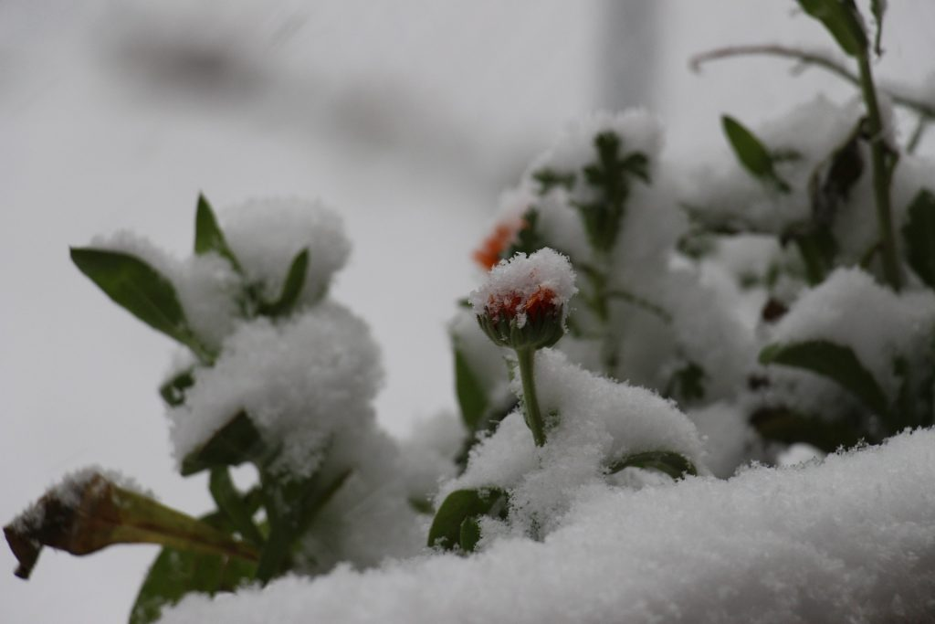 Flower blooms from under snow.